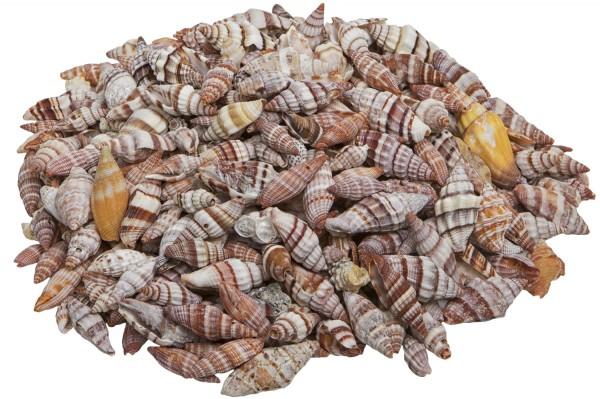 Schneckenmuschel, braun-weiß