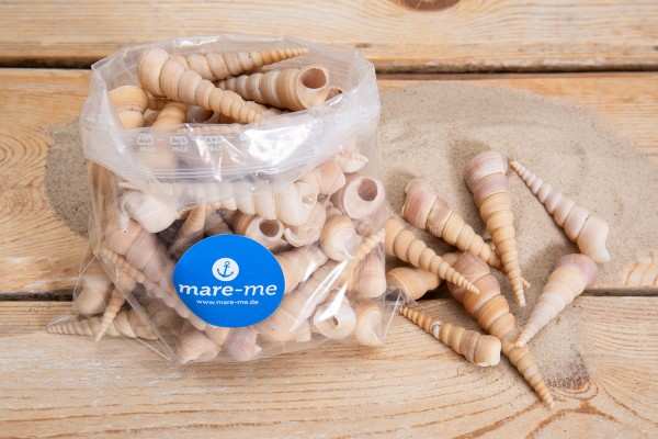Muschel Terebra Turitella, 1 kg