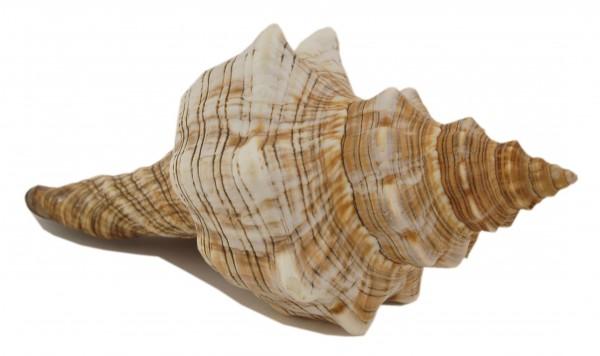 Muschel, Dekoration Fasciolaria