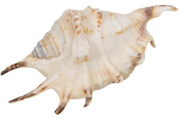 Dekorationsmuschel Lambis Lambis