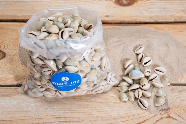 Muschel Cypraea Annulus, 1 kg